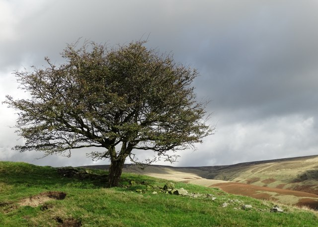 Pennine hawthorn tree with view to Whitemoor