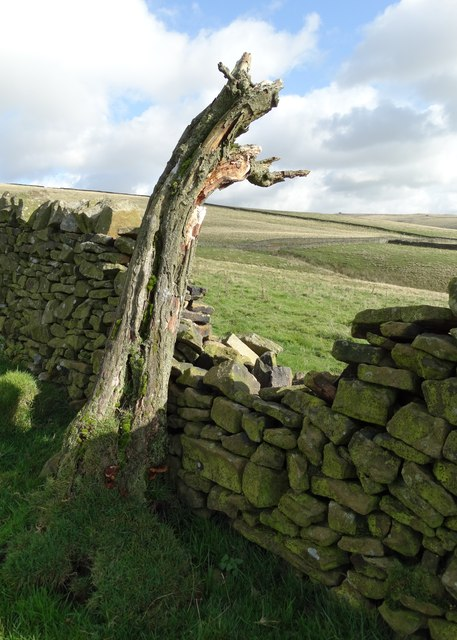 Gnarled remains of a Pennine hawthorn tree