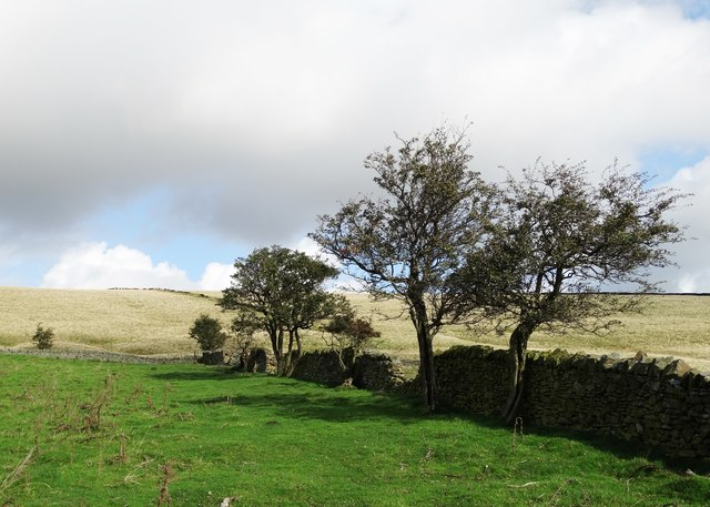 Hawthorn trees north east of New Hall Farm