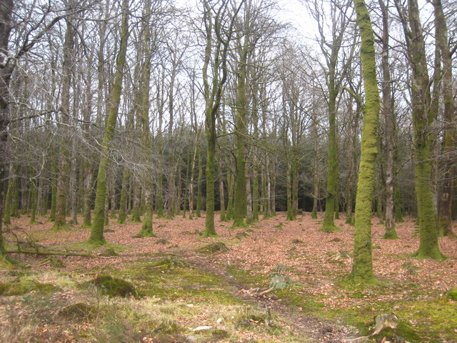 Beech trees in Halwill Moor Plantation
