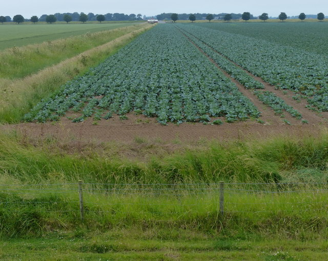 A field of cabbages viewed from the sea bank
