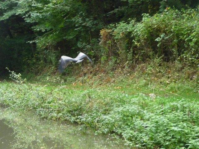 Heron flying east along the Kennet & Avon towpath
