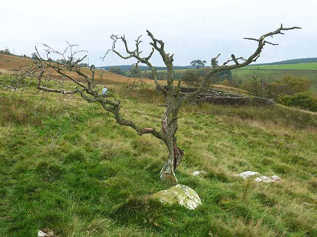Tree and sheepfold above the Warks Burn