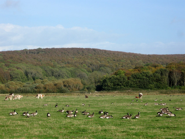 Canada Geese and Cows
