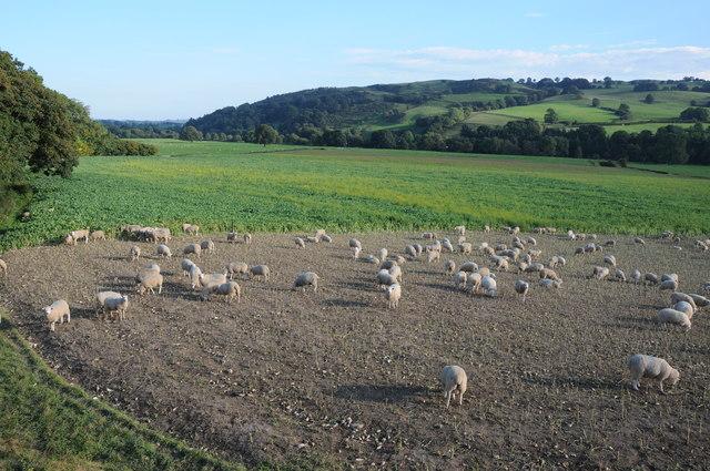 Sheep grazing a root crop