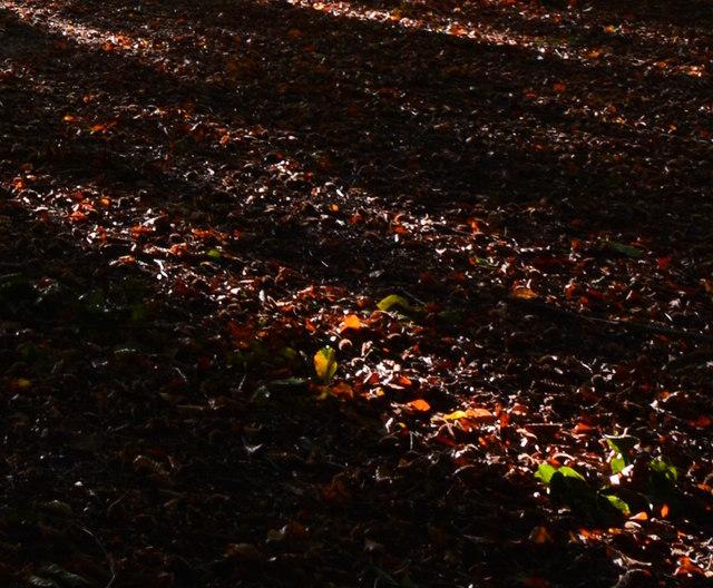 Beech leaf litter in Arthur Newbery Park, Tilehurst, Berkshire