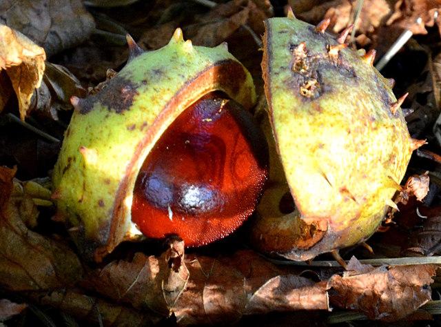 Seed of Aesculus hippocastanum (Horse Chestnut) in The Arthur Newbery Park, Tilehurst, Berkshire...