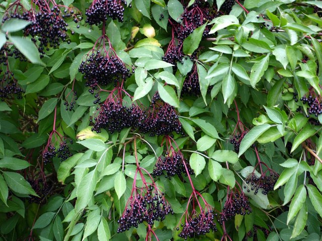 Elderberries in hedgerow south of Ovington