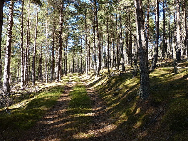 Forest track and spruce trees