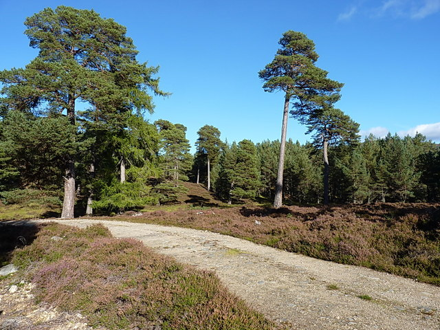 A stand of Scot pines above Balnagower Cottage