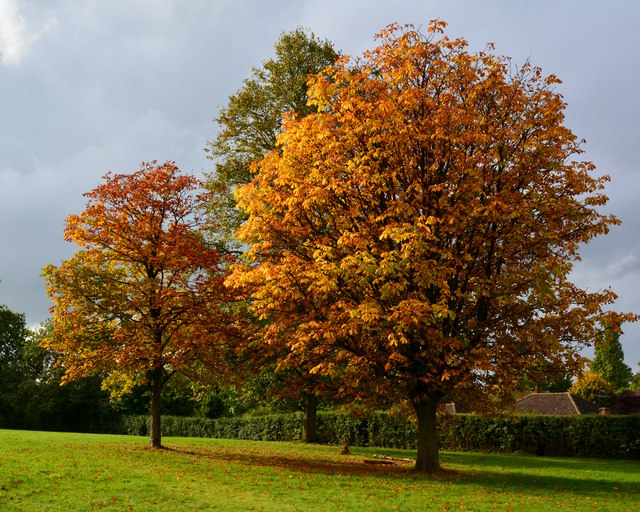 Young Horse Chestnut trees in The Arthur Newbery Park, Tilehurst, Berkshire