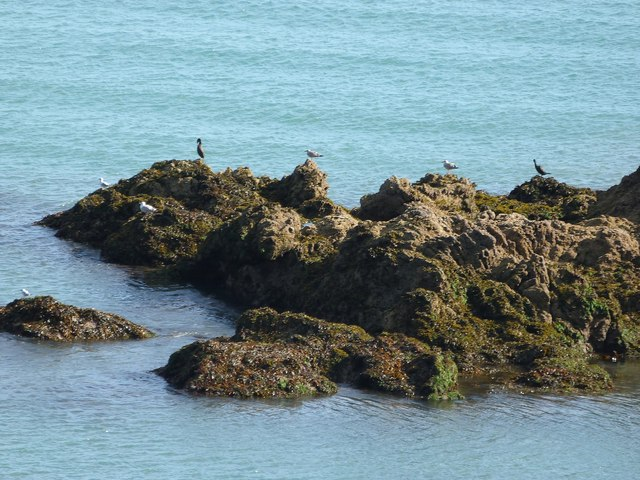 Gulls and two cormorants on Mussel Rock, St. Mary's Bay, Brixham