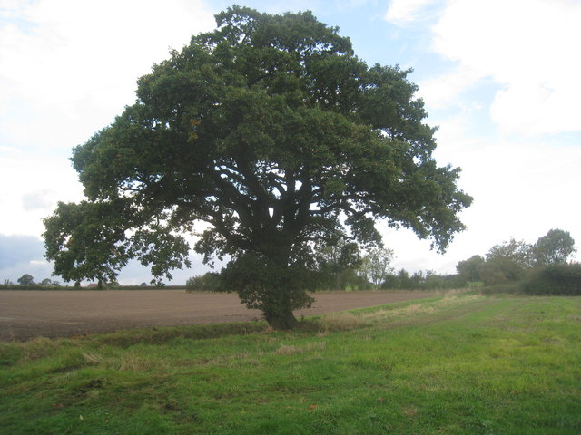 Lone tree by New Lane