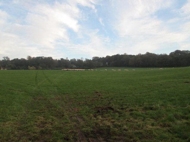 Sheep grazing near Longridge Towers School