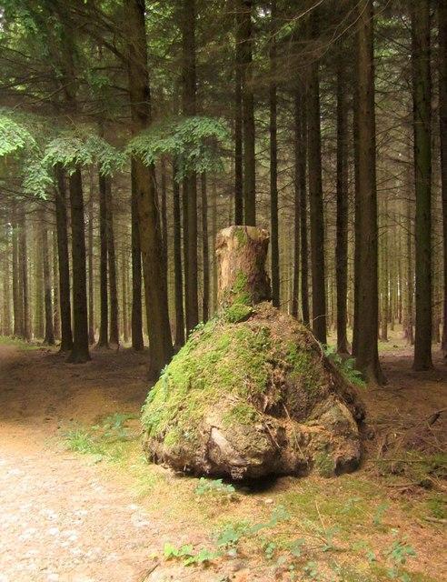 Tree stump, Upcott Wood