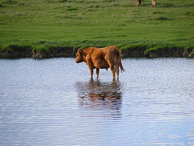Bullock in the pond