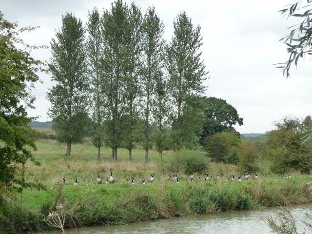 Canada geese alongside the Kennet & Avon canal
