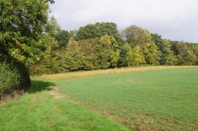 Maize by Watchbury Copse