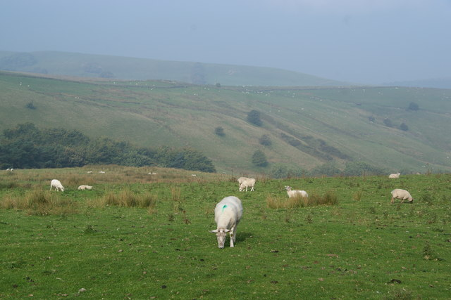 Sheep grazing by Ankers Knowl Lane