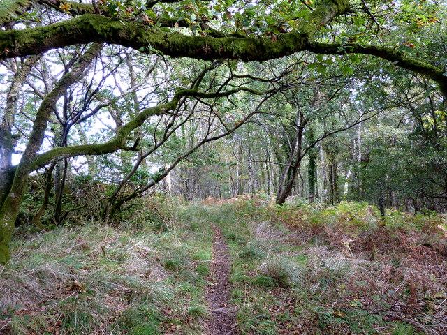 Birch trees in Balloch Wood