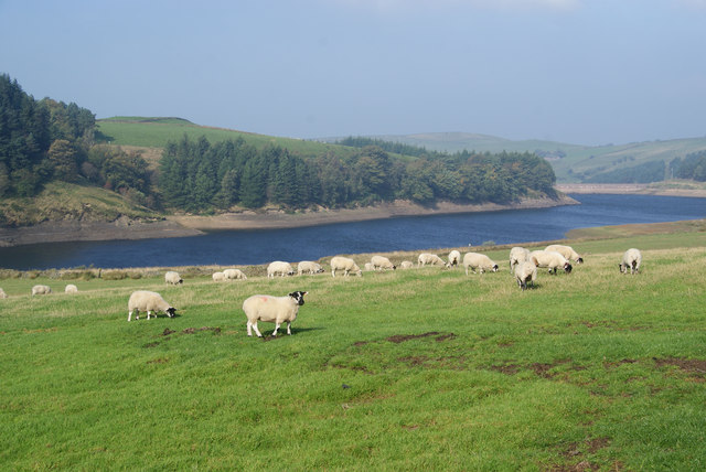 Sheep above Lamaload Reservoir