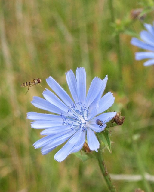Hoverfly and chicory, Buckland Filleigh