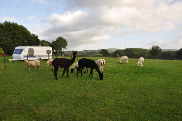 Stenhill : Alpacas & Sheep