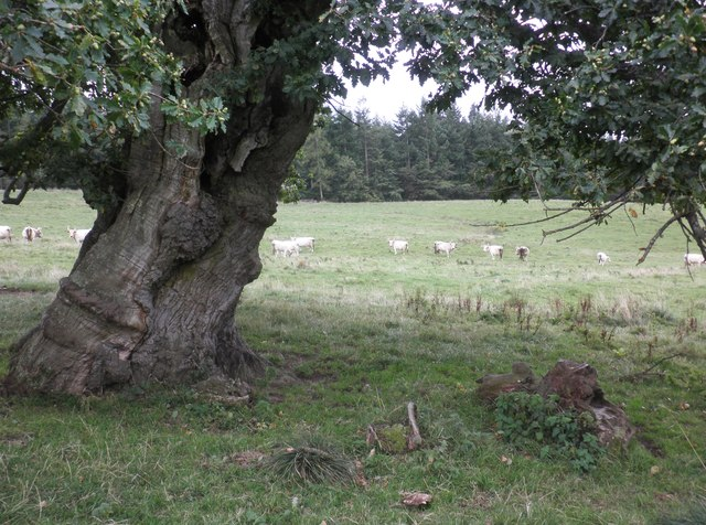 A glimpse of the wild cattle at Chillingham