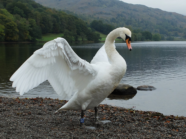 Swan on the shore of Grasmere
