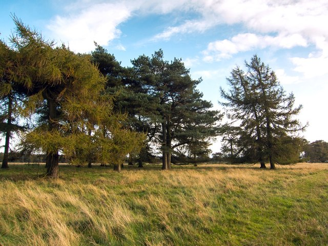 Widely spaced conifers by Baxton's Rigg road