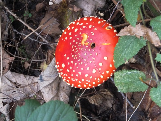 Fly Agaric (Amanita muscaria) in the Leeford plantations