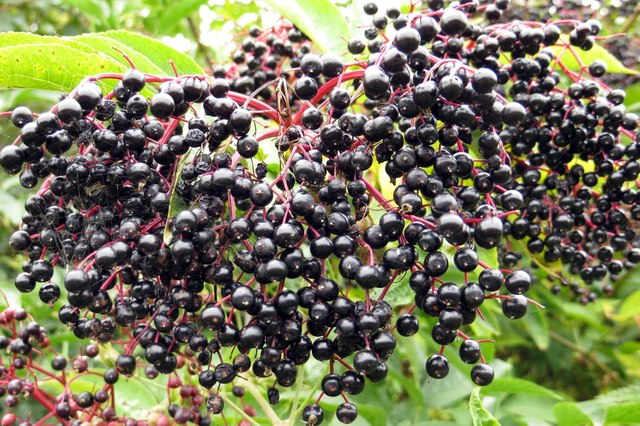 Elderberries by the footpath