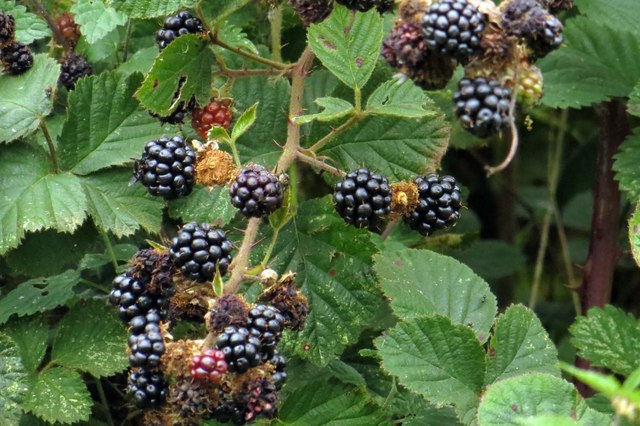 Blackberries on Harrowdown Hill