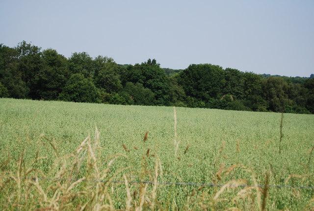 Wheat, South Park Farm