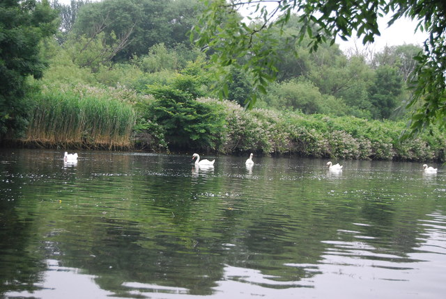 Swans, Whitlingham Great Broad