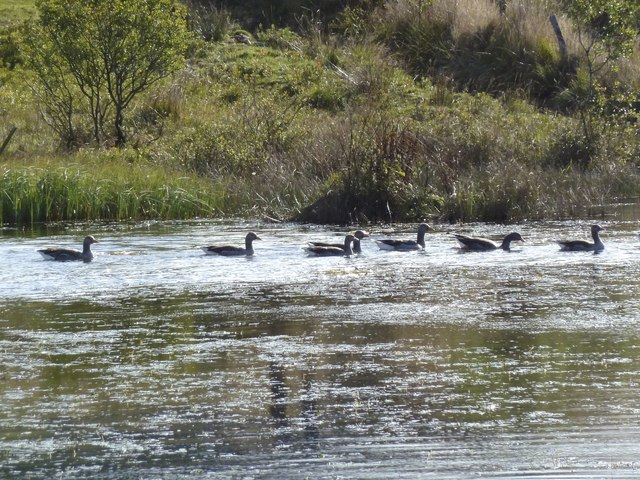 Migrating (?) geese on loch