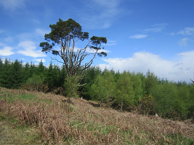 Old pine, Mabie Forest