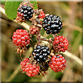 J4581 : Blackberries, Helen's Bay (2 in 2013) : Week 43