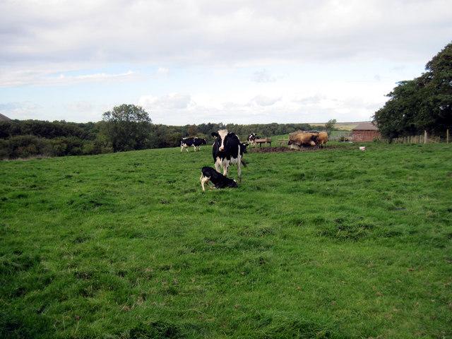 Cow  with  new  born  calf  at  Park  House  Farm