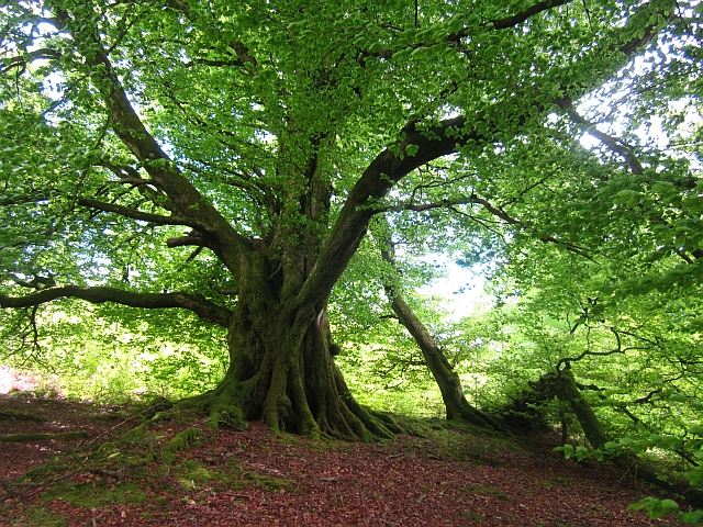 Beeches, Mabie Forest