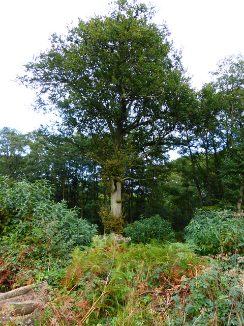 Tall tree by bridleway