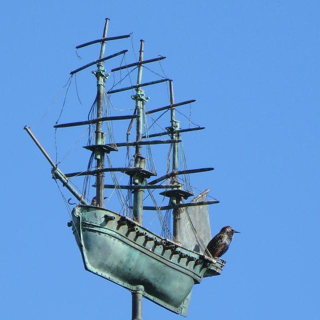 Seafaring starling