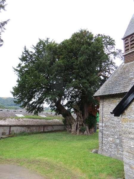 Yew tree at St Mary