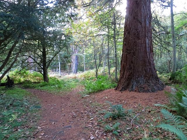 Big tree, Arniston