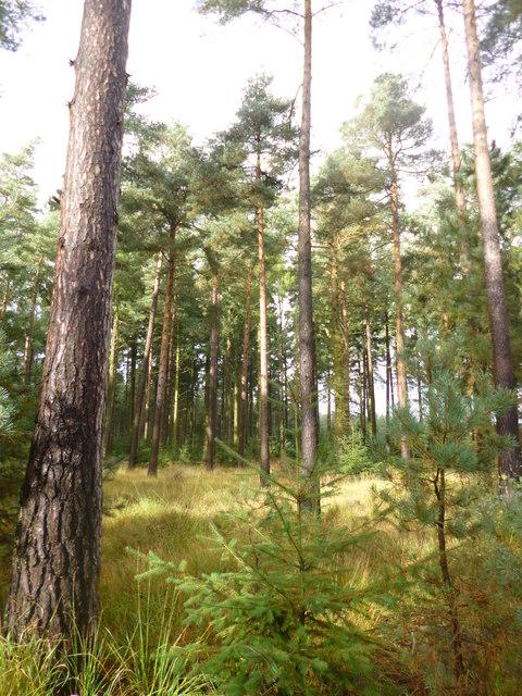 Ringwood Forest, plantation