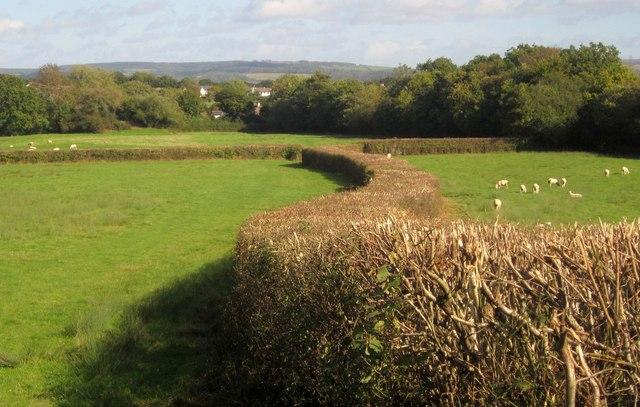 Hedge near Halford