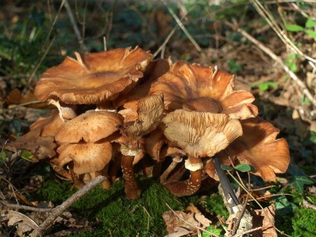 Fungi, Rora Wood