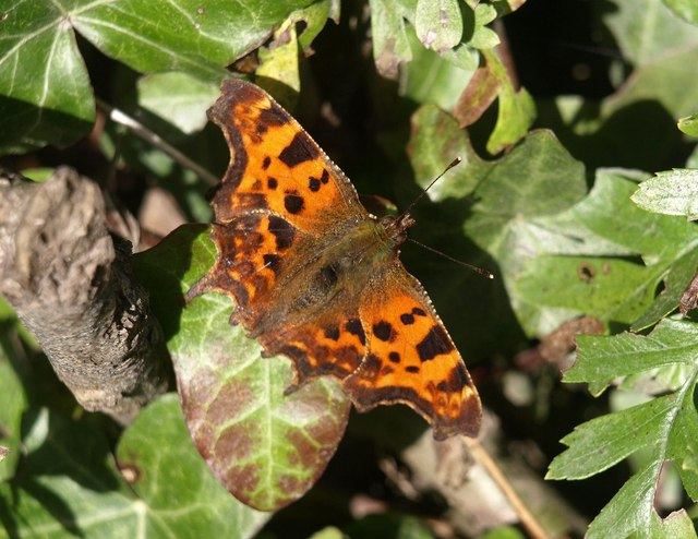 Comma near Penn Wood