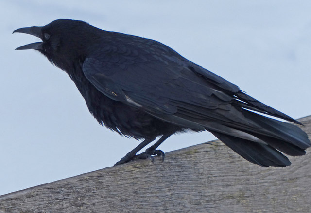 Crow at Beacon Hill Country Park