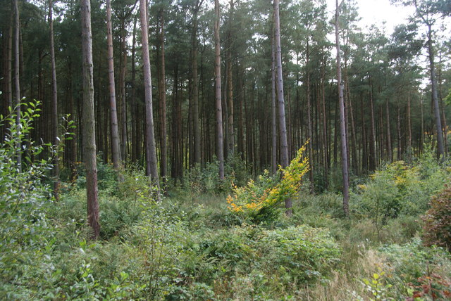 Pine trees in Macclesfield Forest